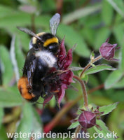 Potentilla palustris Marsh Cinquefoil or Bog Strawberry, with two bumblebees