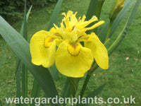 Iris pseudacorus 'Flore Pleno' Double Yellow Flag Iris