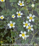 Ranunculus aquatilis - Water Crowfoot