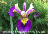 Iris 'Regal Surprise'