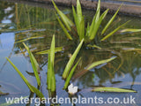 Stratiotes aloides - Water Soldier