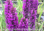 Dactylorhiza_Purple-Flowered_Marsh_Orchid