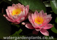 Waterlily Nymphaea 'Venusta'