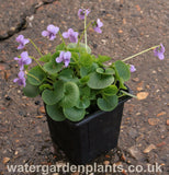 Viola palustris - Marsh Violet