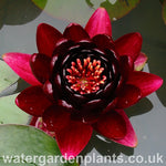 Waterlily Nymphaea 'Black Princess'