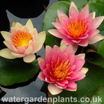 Waterlily Nymphaea 'David'