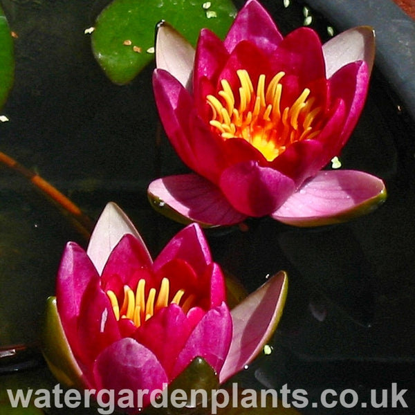 Waterlily Nymphaea 'Froebelii'