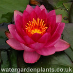 Waterlily Nymphaea 'James Brydon'