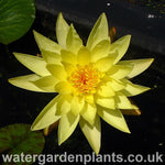 Waterlily Nymphaea 'Joey Tomocik'