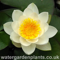 Waterlily Nymphaea 'Marliacea Albida'