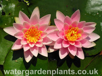 Waterlily Nymphaea 'Martha'