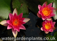 Waterlily Nymphaea 'Pygmaea Rubra'