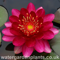 Waterlily Nymphaea 'Perry's Baby Red'