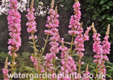 Lythrum salicaria 'Blush' - Purple Loosestrife: Pale Pink Form