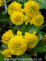 Caltha_palustris_var._palustris_Plena_monstrosa