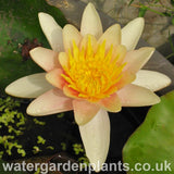 Waterlily Nymphaea 'Comanche'