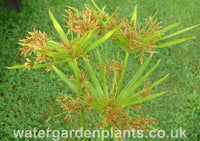 Cyperus involucratus (alternifolia) Umbrella Grass
