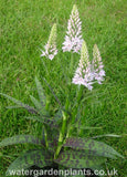 Dactylorhiza_fuchsii_Marsh_Orchid_or_Common_Spotted_Orchid