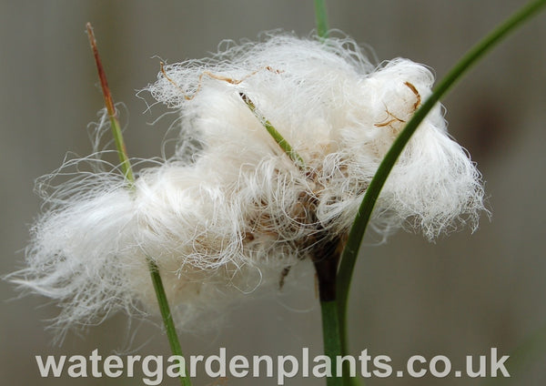 Eriophorum_angustifolium_Common_Cottongrass