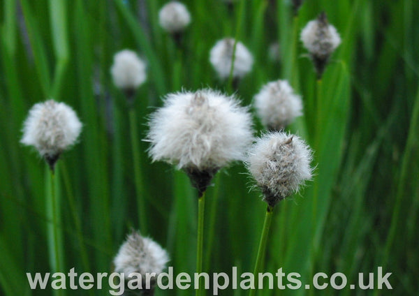 Eriophorum_vaginatum_Tufted_Cottongrass_or_Harestail_Cottongrass
