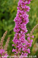 Lythrum_salicaria_Purple_Loosestrife