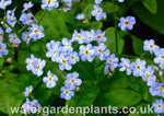 Myosotis scorpioides 'Mermaid' Water Forget-Me-Not
