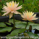 Waterlily Nymphaea 'Peach Glow'