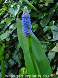 Pontederia dilatata - Giant Pickerel Plant
