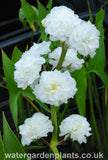 Sagittaria sagittifolia var. leucopetala 'Flore Pleno' - Double-Flowered Arrowhead, Double-Flowered Swamp Potato