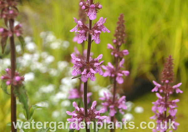Stachys palustris - Marsh Woundwort