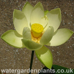 Lotus_Nelumbo_Perrys_Giant_Sunburst