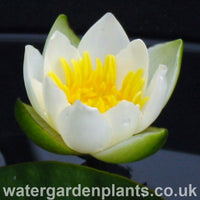 Waterlily Nymphaea tetragona (Nymphaea pygmaea 'Alba') - Pygmy Waterlily, Chinese Waterlily