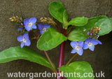 Veronica beccabunga - Brooklime, Water Speedwell