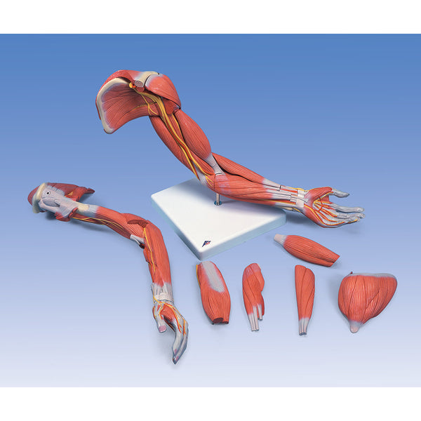 6 Piece Deluxe Arm Muscle Model