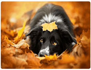 Maple Leaf Dog - LOVIELO