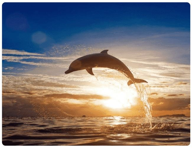 Dolphin At Sunset - LOVIELO