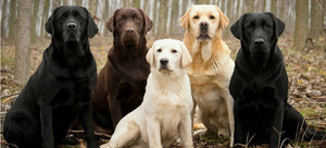 Labradors, America's Great Love For This Beautiful Breed