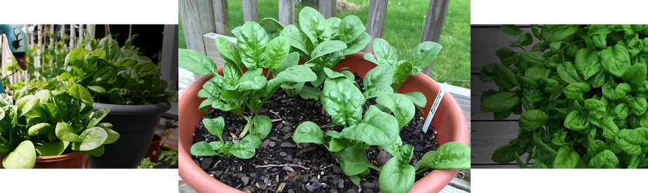 Growing spinach at home
