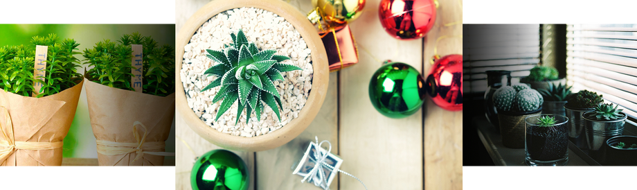 Plants as holiday gifts