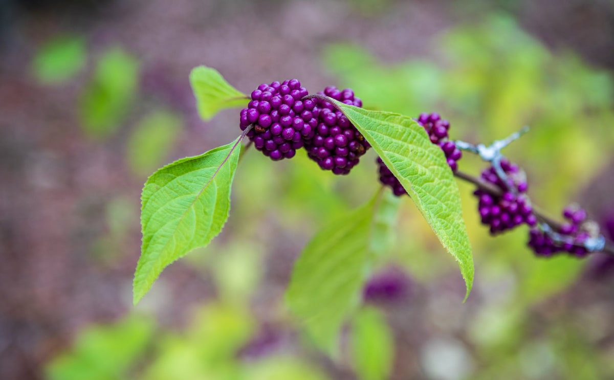 Beautyberry plant