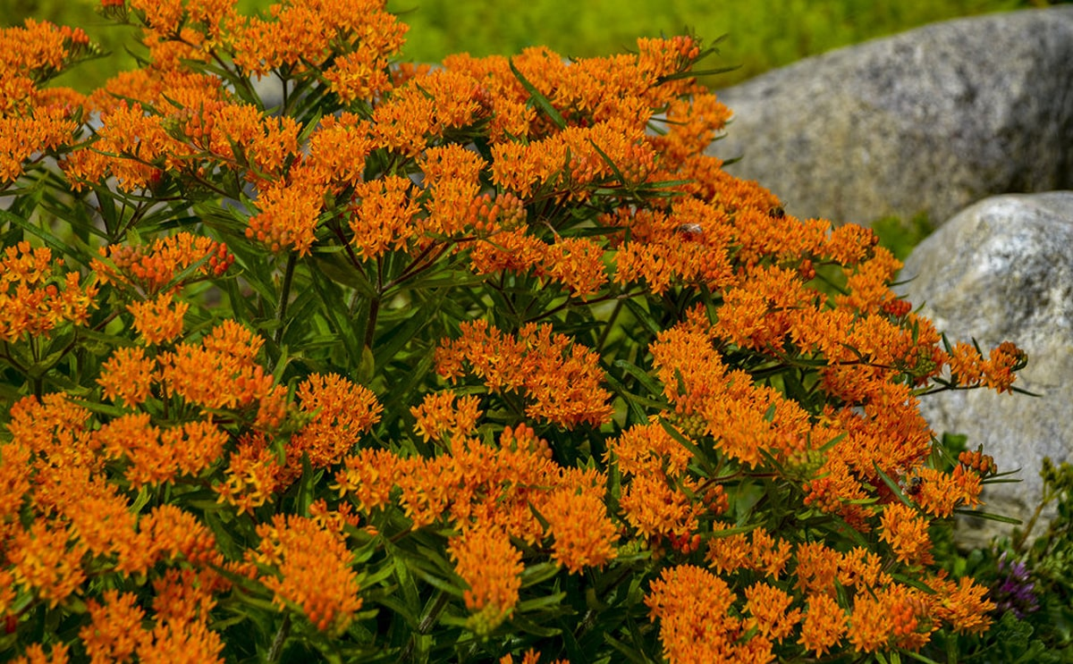 red color butterfly weed plant