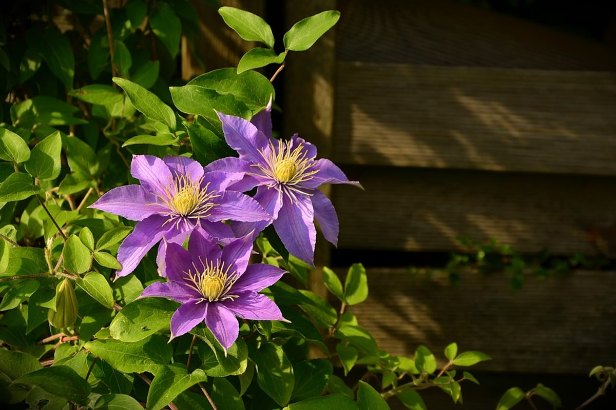 Clematis plants with background of raised bed