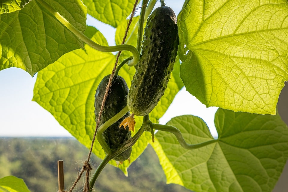 Two cucumber plant
