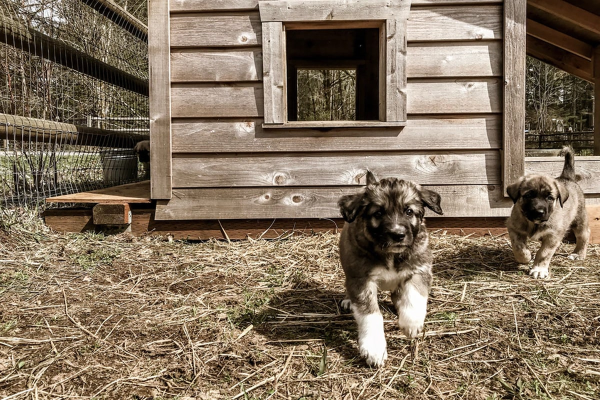 Two dogs with their house
