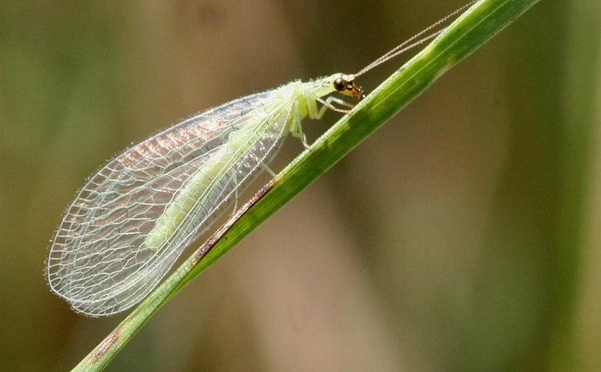 green lacewings insect