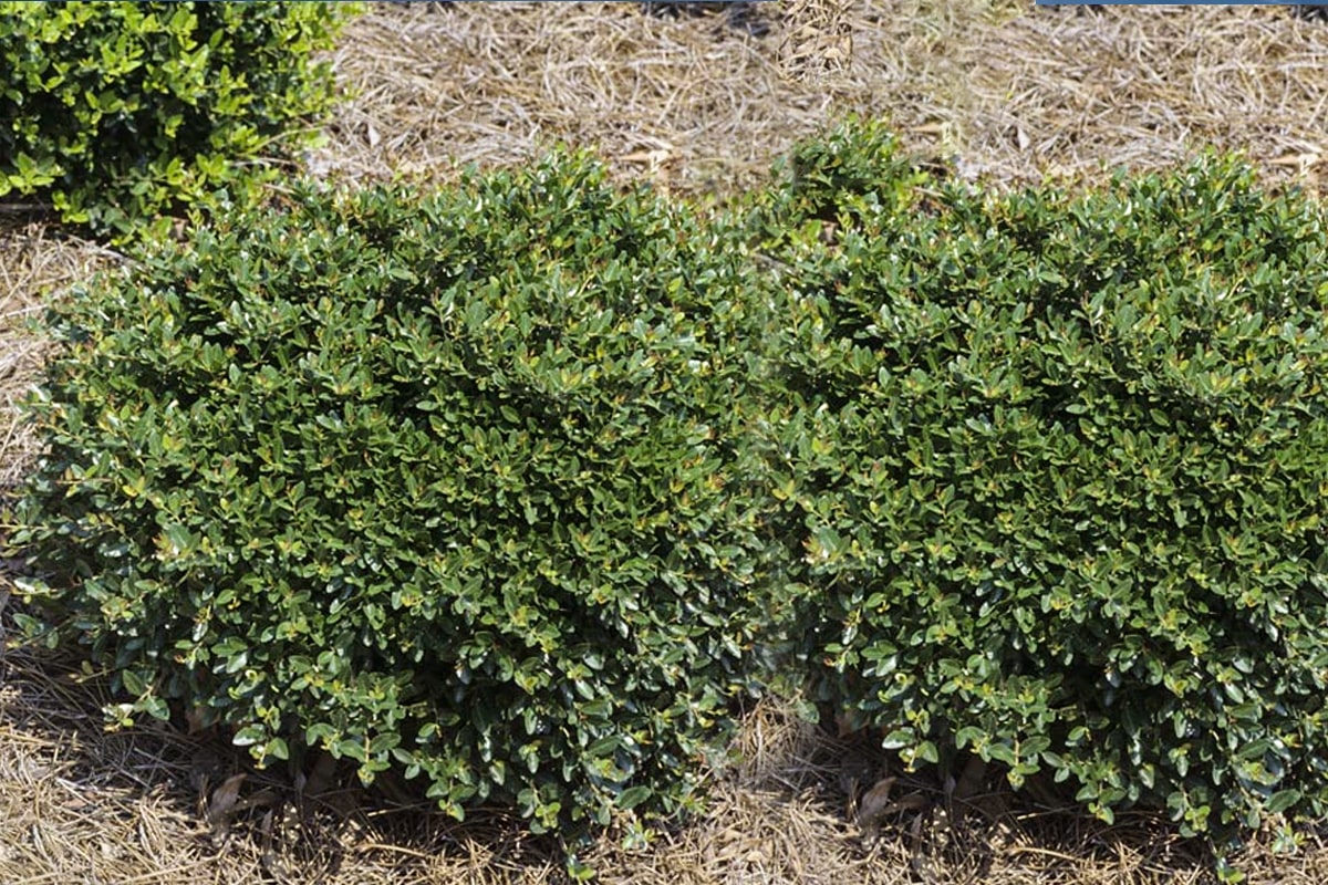 Japanese holly plants
