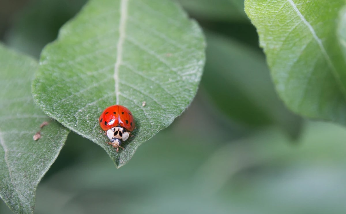 ladybugs in the leaf