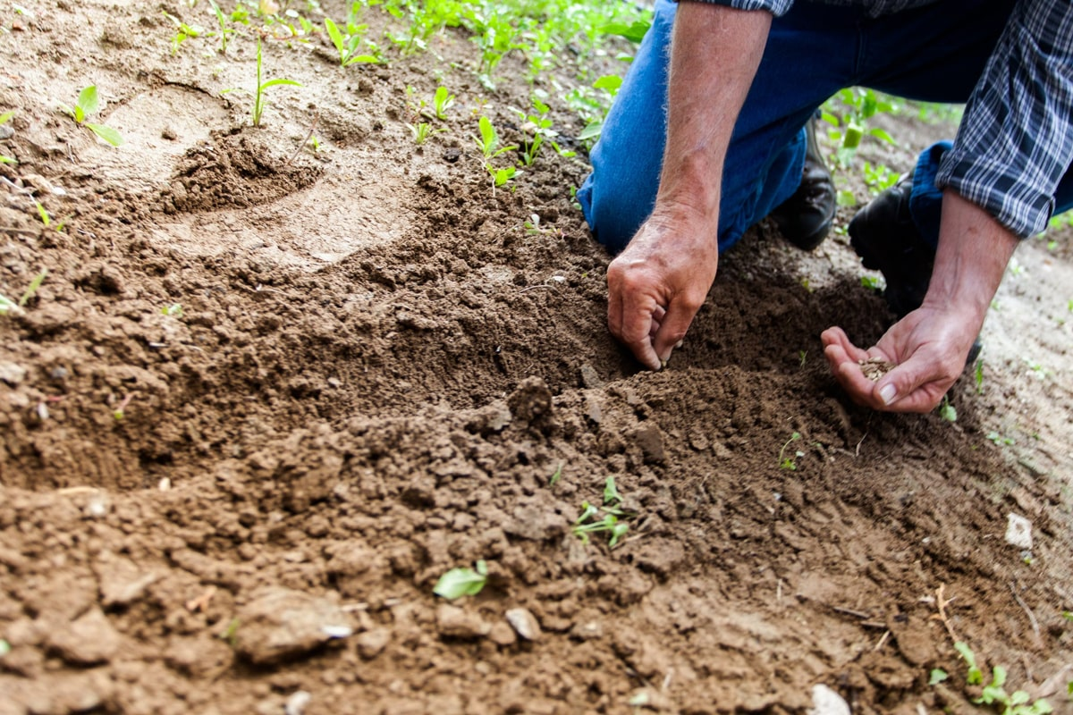 Man planting the seeds