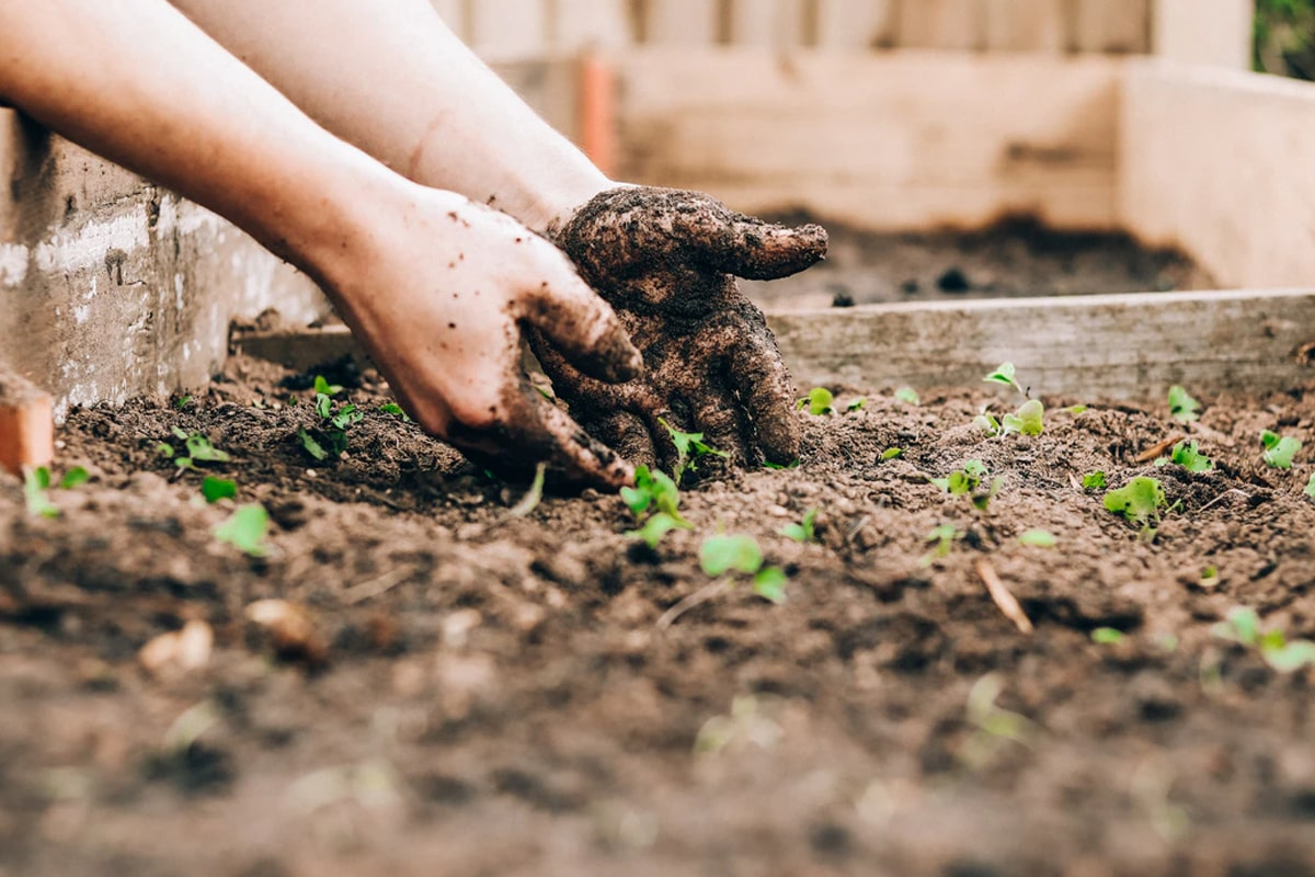 Hands with soil from raised bed