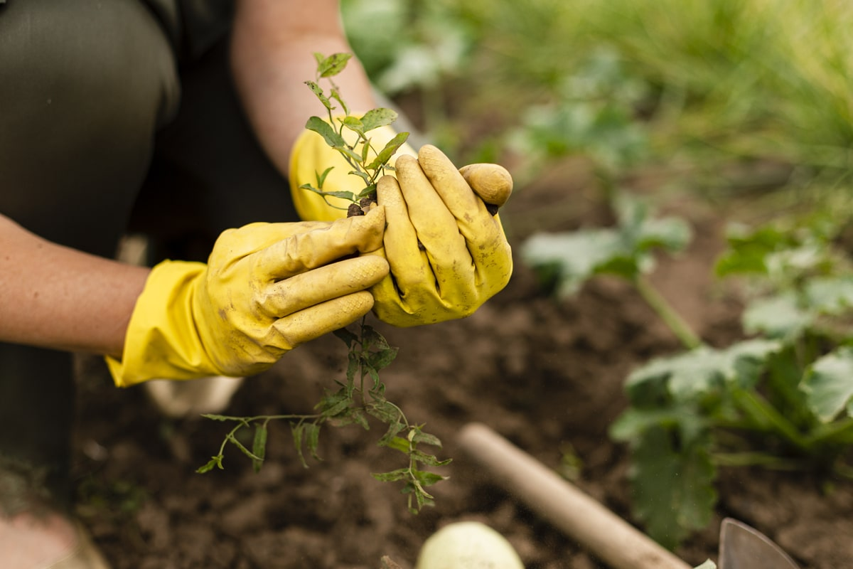 A person planting vegetables.